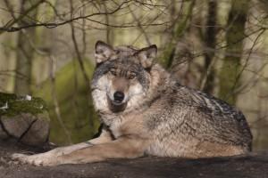 Der Wolf gilt in Deutschland als Rückkehrer - Foto C. Matzke/Allwetterzoo Münster